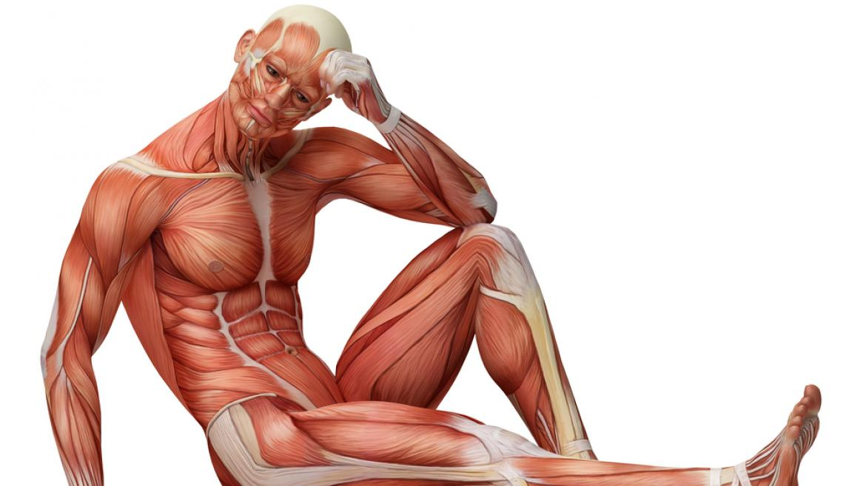 budowa i funkcjonowanie mięśni. mięśnie czerwone i białe w treningu.